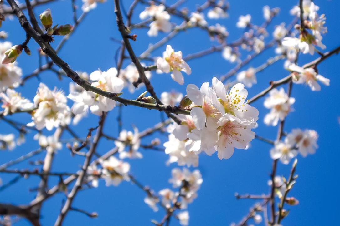 almond-blossom_17 febr 2016