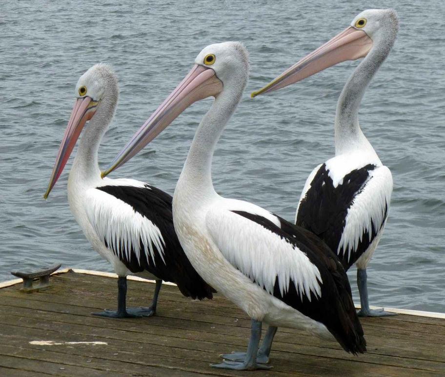 pelicans-pelican-water-bird-australian-pelican-61157.jpeg